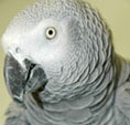 Beau - a bird needing a home