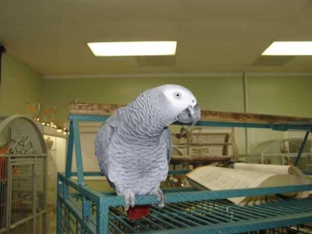 Parrot University - Adoptions